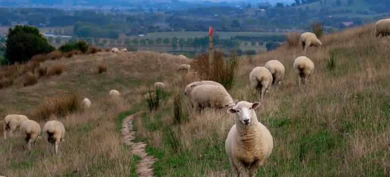 Sheep going around the field