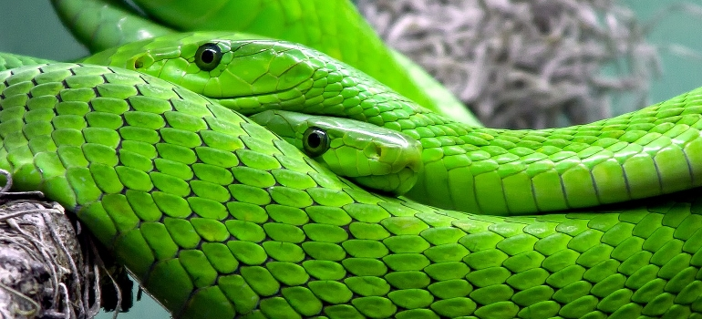 bright green snakes