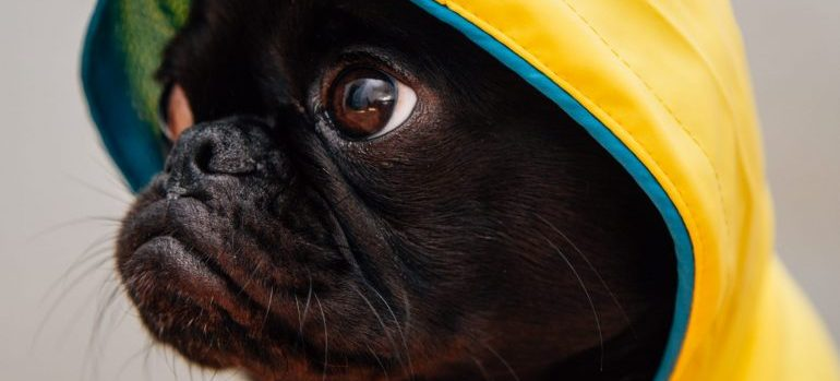 a black dog with a yellow hoodie