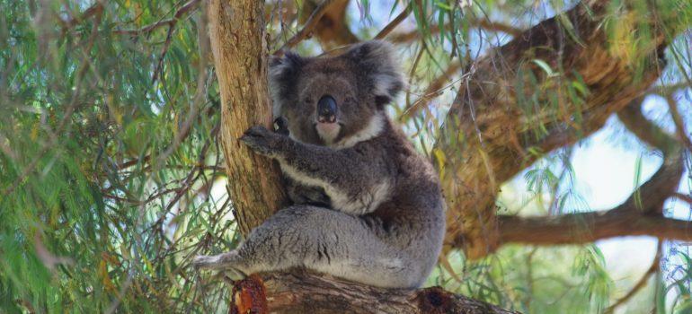 Koala bear in Adelaide zoo